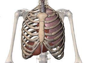 Органы и кости грудной клетки