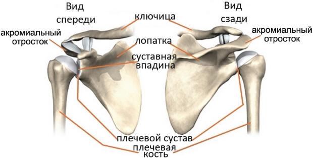 Анатомическое строение нормального плечевого сустава
