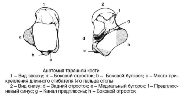Анатомия таранной кости