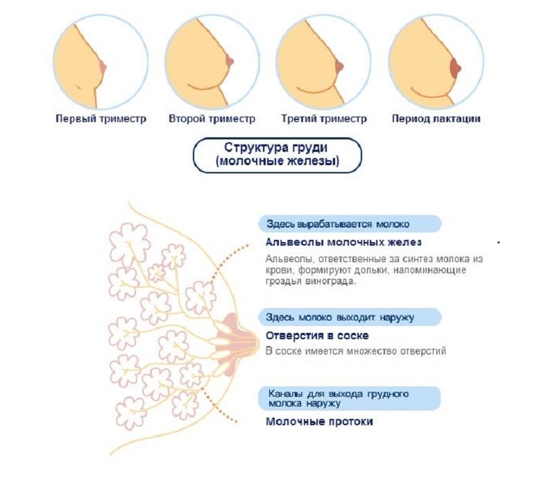 Изменения в груди у беременной