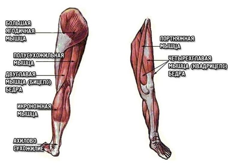 Мышцы ножек