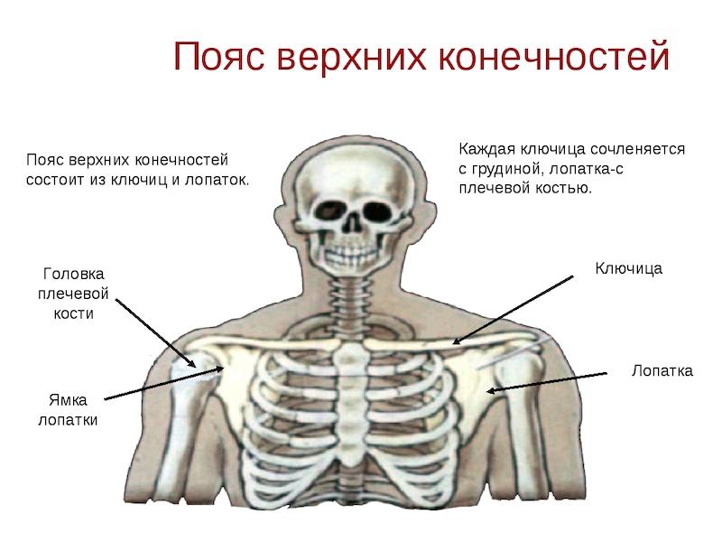 Расположение ключичной кости
