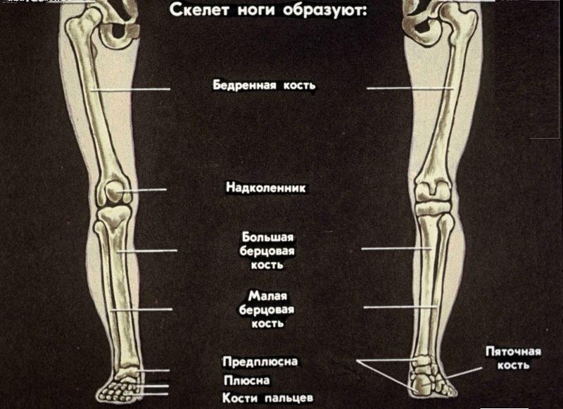 Строение ножки